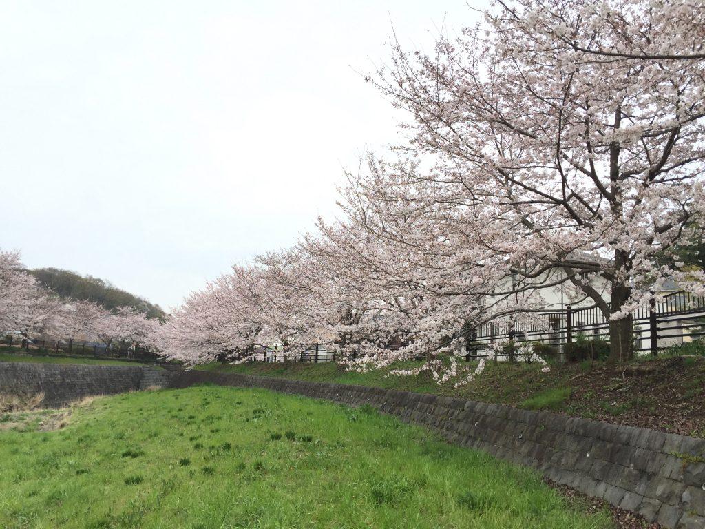 丁度この桜並木を歩いているときにvisa取得のメールがきました